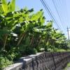 芭蕉の並木